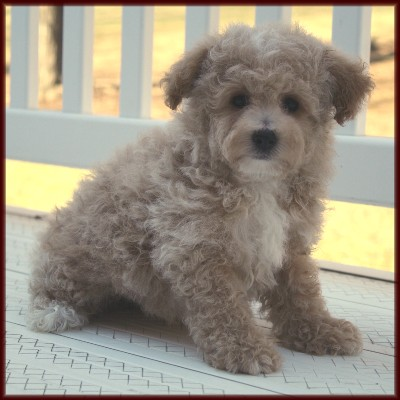 ... Poochon who is also cute! Our puppies are from Bichon Frise and Toy