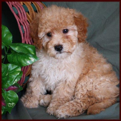 Poodle Puppies on Bichon Poodle  Poochon  Bichpoo  Puppies For Sale In Iowa