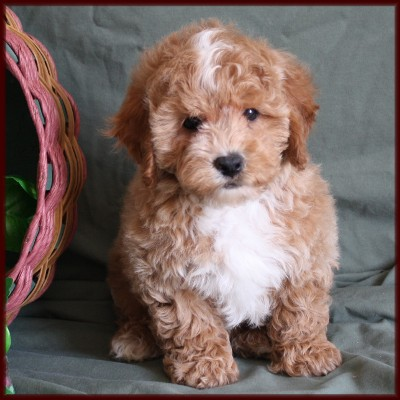 Bichon Poodle| Poochon| Bichpoo| Puppies for Sale in Iowa