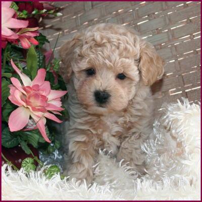 Bichon Poodle Puppies For Sale Nursery 1