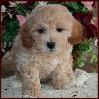 Poochon http://www.rollingmeadowspuppies.com/PoochonPuppyPageDaisy