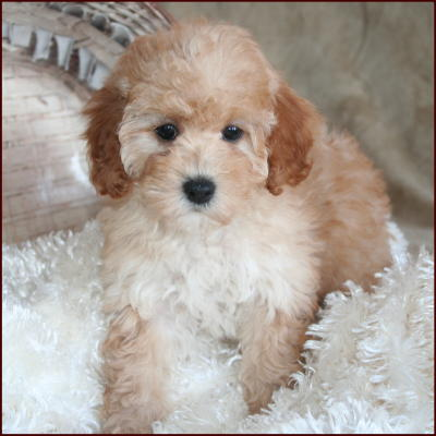 full grown bichon poo image search results