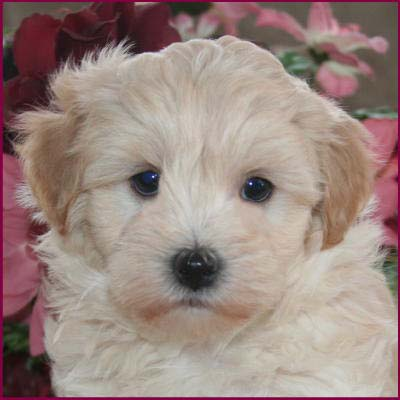 Maltese+poodle+puppies+for+sale+in+california