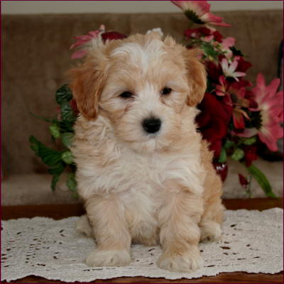 Maltipoo Puppies on Maltipoo Puppies For Sale Maltese Toy Poodle Mixed Breed
