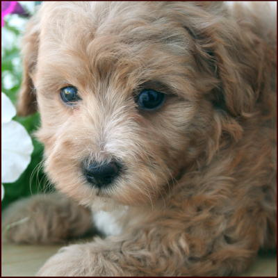 Multipoo Puppies For Sale In Iowa | Rachael Edwards