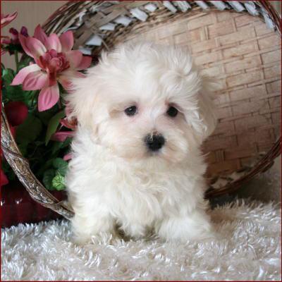 Maltichonmaltesebichon Frisedesigner Puppies
