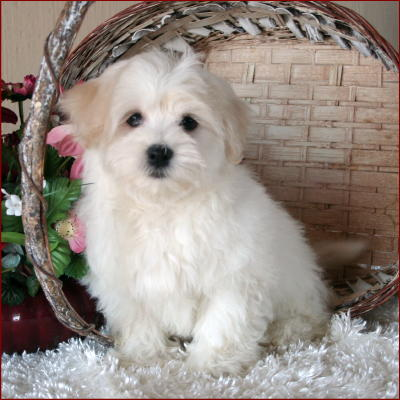 What will my Bichon Maltese look like as an adult? Bichon Frise Akc