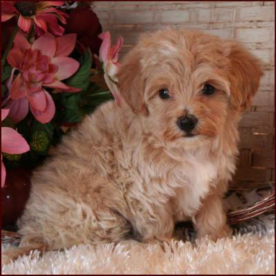 Maltipoo Puppies All Sold Apricot White Hypoallergenic Non ...