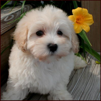 maltese and poodle mixes