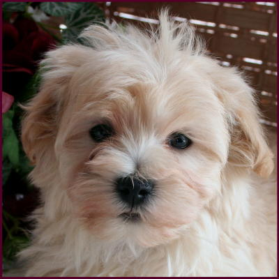 SOLD MALTIPOO PUPPIES BELOW