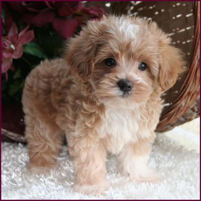 Maltipoo Puppies on F1 Hybrid Maltipoo Puppies