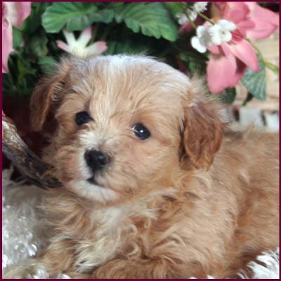 Maltipoo Puppies on Maltipoo Puppies 4 Sale  Apricot Puppy  Dog Breeders   Iowa