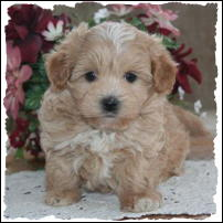 Toy Poodle Puppies For Sale In Chicago