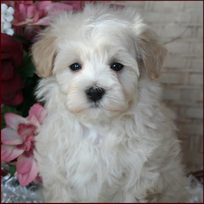 Maltipoo Puppies For Sale Dog Breeders Mixed Breeds Iowa