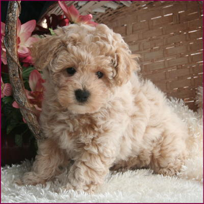 Poodle Puppies on Bichon Poodle Puppies For Sale Nursery  1