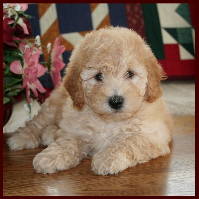 Images For > Brown Bichon Frise Full Grown
