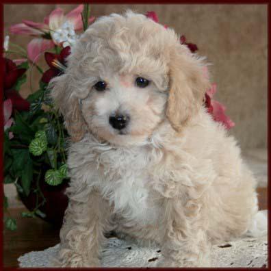 Bich Poo Poochon Bichon Poodle Hybrid Dog Breed Info Center Dbi 2015