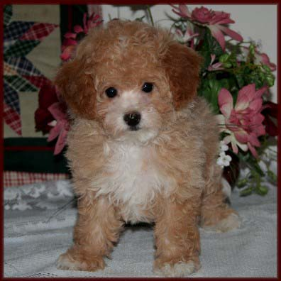 Bichonpoo|Puppies for Sale|Poochon| Dog Breeders|Iowa