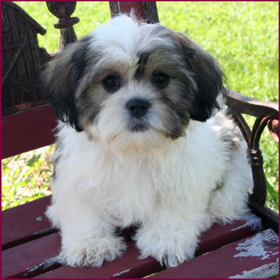 Shichon Puppies on Shichon Puppy 4 Sale Cross Mixed Breed Puppies