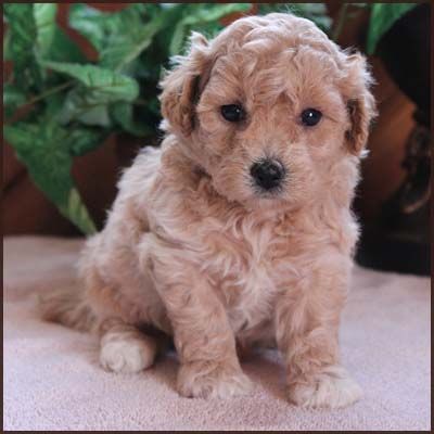 poochon puppy for sale
