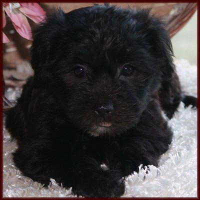 yorkie bichon rolling meadows puppies