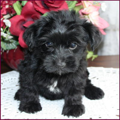 Yorkie  Puppies on Yorkipoo Yorkie Poodle Yorkiepoo Puppies For Sale Iowa