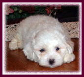 The Bichon Frise dogs/puppies are Hypoallergenic/non-shedding