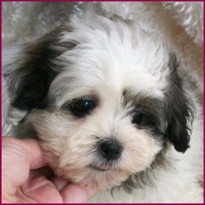 Shichon Puppy 4 Sale Cross Mixed Breed Puppies