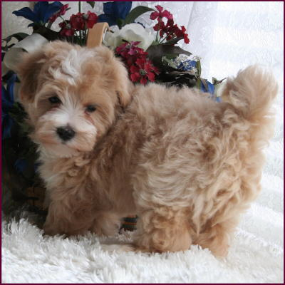 Pin Adult Maltipoo Puppy Cut on Pinterest