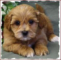 Bichon Poo Dogs Full-Grown