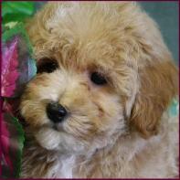 Bichon Poodle Mix Puppies for Sale