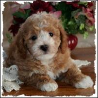 Bichon Poodle Poochon Puppy