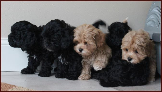 Shichon poo aka Daisy Dog Puppies for Sale|Mixed Breed for