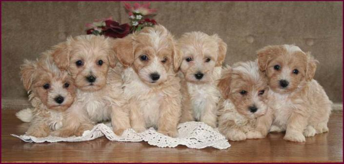For Maryland In Maltipoo Puppies Sale