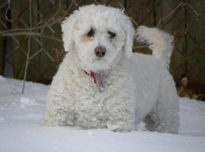 Poochon Adult Dog