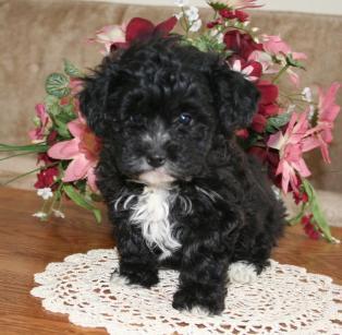 yochon puppy