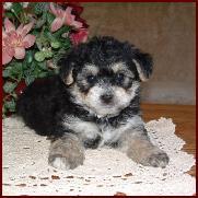 Bichon yorkie poodle