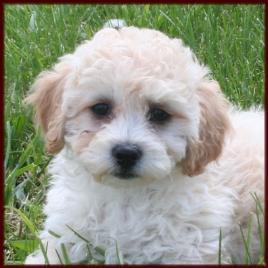 Poochon Bichon Poodle Puppies For Sale Nursery 3 Iowa