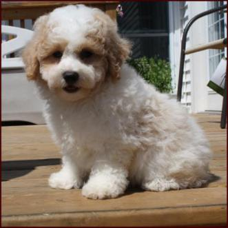 Shichon Puppies For Saledaisy Dogshihtzu Mixed Breed Puppyiowa