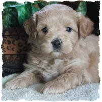 Mixed Breed Puppies|Puppy for Sale|Toy|non shed|Dog Breeders
