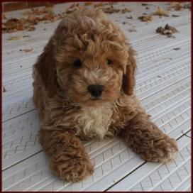 Bichon Poodle Puppies Ohio