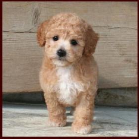 Bich-poo  Poochon  Bichon Poodle Puppies for Sale  Iowa