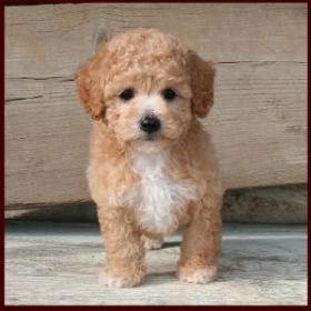 Bich Poo Poochon Bichon Poodle Puppies For Sale Iowa