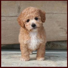 Bich-poo| Poochon| Bichon Poodle Puppies for Sale| Iowa