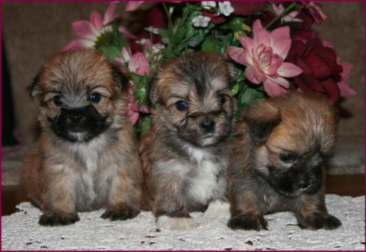 Morkieyorkteseyorkie Maltese Puppies For Saleiowa