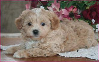Maltipoo Maltepoo Maltese Poodle Puppies For Sale Iowa