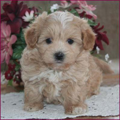 Maltipoo Maltepoo Maltese Poodle Puppies For Sale Iowa