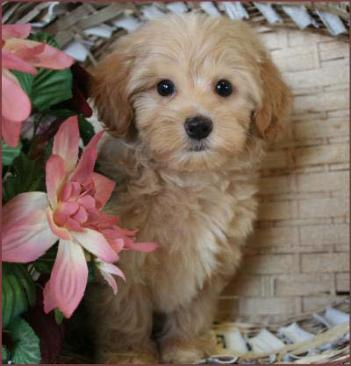 Maltipoo Puppies 4 Sale| Apricot Puppy| Dog Breeders | Iowa
