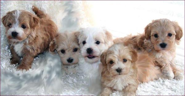 Maltipoo Puppies - All Sold
