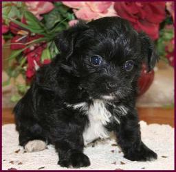 Yorkipoo Yorkie Poodle Yorkiepoo Puppies for Sale Iowa